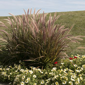 skyrocket_graceful_grass_15.jpg