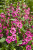 Angelface® Perfectly Pink - Summer Snapdragon - Angelonia hybrid