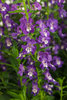 Angelface® Super Blue - Summer Snapdragon - Angelonia hybrid