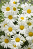 Pure White Butterfly™ - Marguerite Daisy - Argyranthemum frutescens